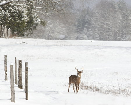 Young whitetail buck in the snow.