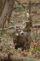 Wall Mural - Whitetail Buck in the Woods