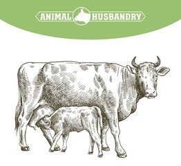 breeding cow. animal husbandry. livestock