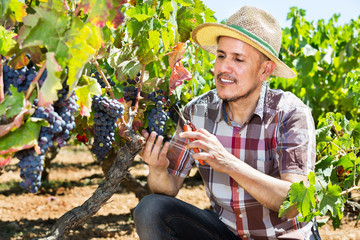 Latino man picking ripe grapes on vineyard