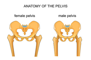 comparison of the skeleton of the male and female pelvis