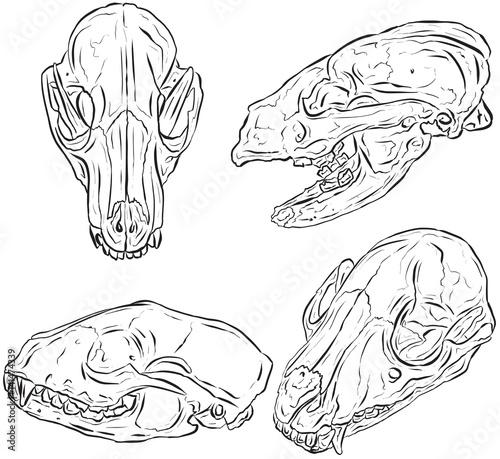 """Badger Skulls Line Art Illustration Vector"" Stock Image"