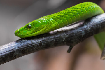 The eastern green mamba (Dendroaspis angusticeps), also known as the common mamba, East African green mamba, green mamba, or white-mouthed mamba.