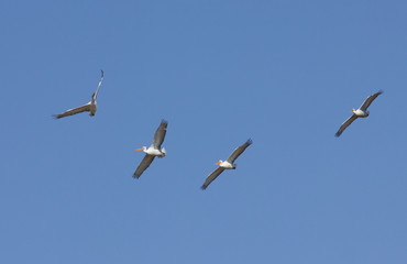 Dalmatian Pelicans (Pelecanus crispus) in flight above Manych lake, Kalmykia, Russia