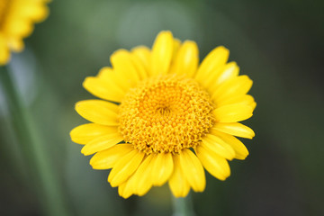 Anthemis tinctoria (Cota tinctoria or golden marguerite, yellow chamomile)