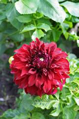 Dahlia Spartacus flower