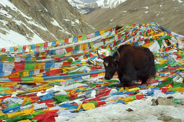 Yak walks by prayer flags on Drolma La Pass with altitude 5650 meters above sea level is highest point of the ritual route around Sacred Mount Kailash in Western Tibet. Fotomurales