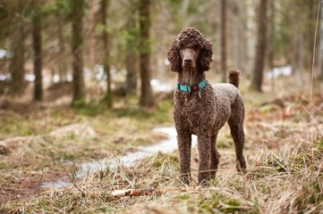 Brown poodle standing in the springtime forest ready for action