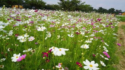 Cosmos flowers, field of cosmos flowers, field of cosmos flowers background and texture.Cosmos
