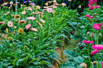Chrysanthemum flower blossom field