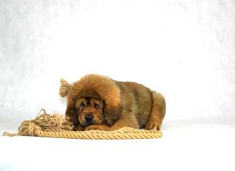 0280 - Mastiff Tybetański