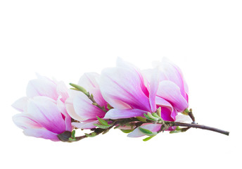 Tulip Magnolia pink flowers spring blossom isolated on white background