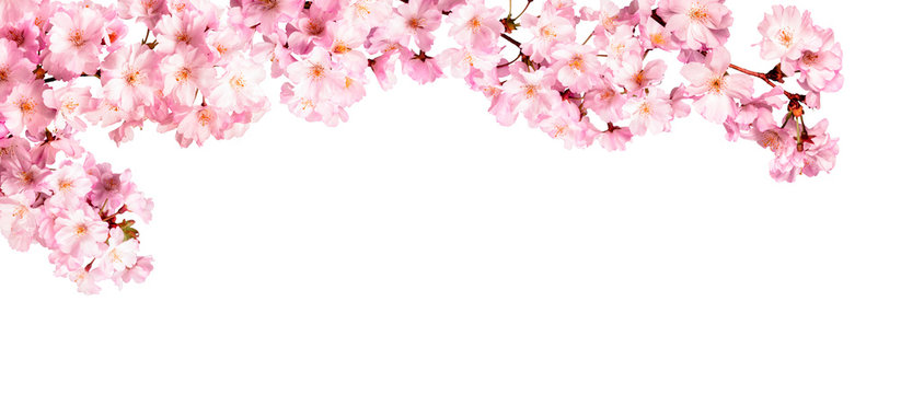 Rosa Kirschblüten vor weißem Hintergrund
