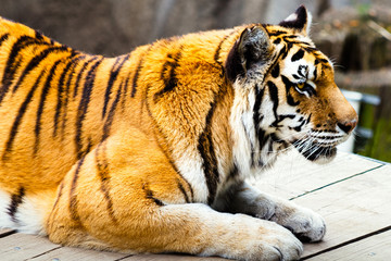 Tiger Resting on a Wooden Plank