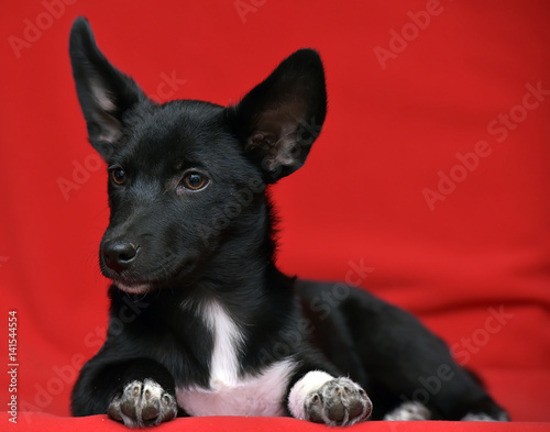 """Black and white Dachshund Terrier mixed breed little dog ..."