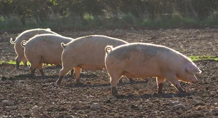 Pig farm in rural Devon, England
