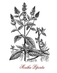 Vintage engraving of peppermint or mentha piperita. Peppermint has a high menthol content and is used to flavoring tea, ice cream, confectionery. Peppermint oil is used as pesticide