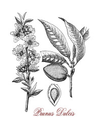 Vintage engraving of almond tree, the beautiful flowers are white to pale pink with five petals and appear in early spring.Almond  is also the name of the widely cultivated seed.