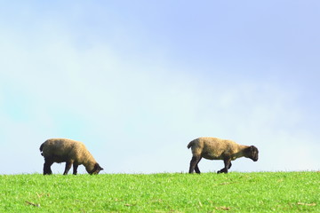 Wall Mural - Sheep grazing on a farmland in rural Devon, England