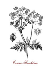Vintage engraving of Hemlock, a high poisonous herbaceous plant, its toxin coniine is similar to curare