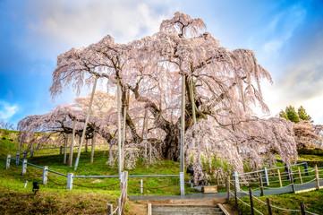 Ancient cherry tree in blossom, Miharu no Takizakura, Fukushima
