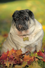 Pug dog in the autumn park