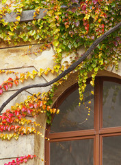 Detailed view of a creeping plant in autumnal colors above the window