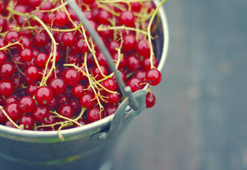 Juicy berries of red currant in an iron small bucket closeup