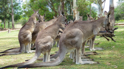 Large grey kangaroo group / herd gathered in grass near woodland area in Queensland, Australia pausing to groom, licking their paws