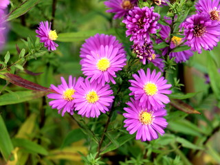Lila Aster im Herbst..