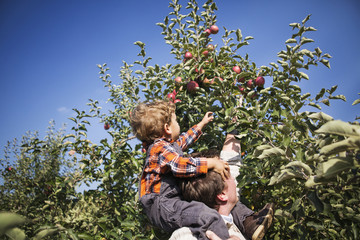 Father carrying son piggyback picking apples from tree