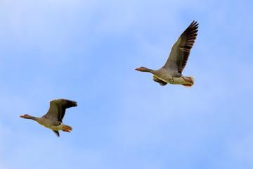 Sibirian Greylag goose in East Frisia