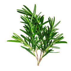 Large sprig of fresh rosemary. Isolated.