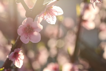 flowers in a branch of a peach tree in spring with a background bokeh at sunset