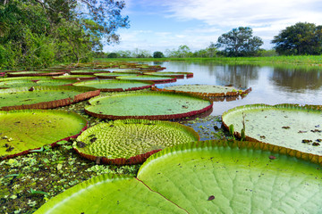 Victoria Regia in the Amazon Rain Forest