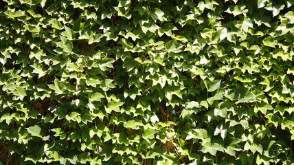 An ivy wall background with green ivy leaves