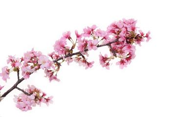 Pink cherry blossom sakura on white background
