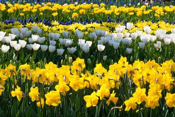 Acrylic Prints Narcissus The Keukenhof, Dutch Public Spring Flowers Garden, Lisse, Zuid Holland, NLD