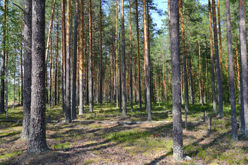 Wall Mural - North forest landscape in Karelia