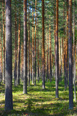 Fototapete - North forest landscape in Karelia