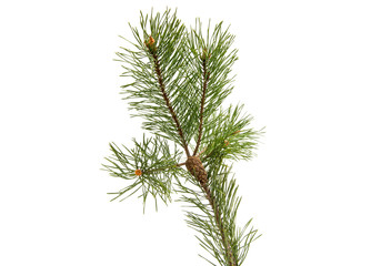 Sprig of pine with cones isolated