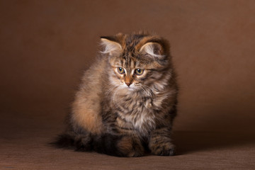 Brooding three-colored kitten Siberian cat breed sitting on dark beige background.