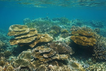 Coral reef of New Caledonia underwater in the lagoon of Grande-Terre island, south Pacific ocean, Oceania