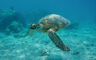A green sea turtle underwater, Chelonia mydas, lagoon of Bora Bora, Pacific ocean, French Polynesia