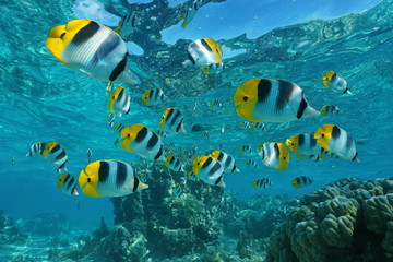 Shoal of tropical fish underwater, Pacific double-saddle butterflyfish, Chaetodon ulietensis, Pacific ocean, French Polynesia