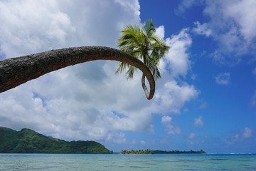 Twisted coconut palm tree leaning over the sea, Huahine island, Pacific ocean, French Polynesia, Oceania