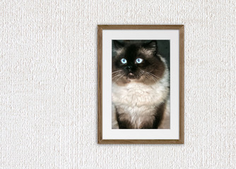 Portrait of beautiful Persian cat with blue eyes, color point breed, in wooden frame on textured wallpaper