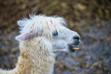 Alpaca, white ilama, funny animal, head