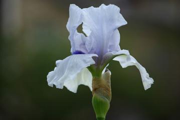 Iris bleu au printemps au jardin