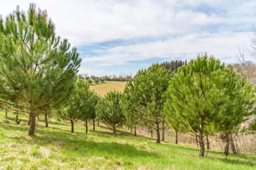 green pine trees in tuscany, italy